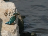 19.10.08  common kingfisher